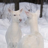 """Hello Mother - Hello Daughter""  Wild Albino Whitetail Deer of Boulder Junction Wisconsin 2"