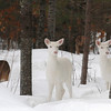 Albino Winter Warriors 4