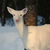 """Suzy in the Sunshine"" 2  Wild albino whitetail deer of Boulder Junction Wisconsin"