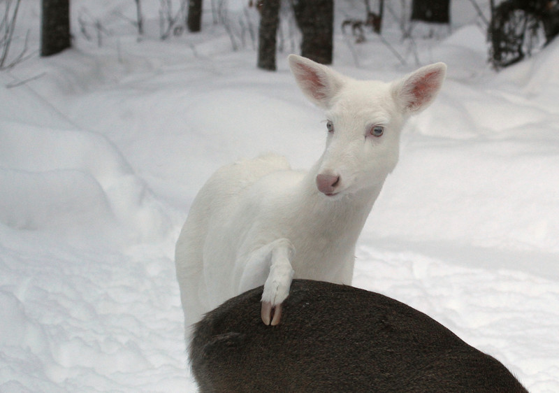 """  Love Tap  ""  Wild Albino Whitetail Deer of Boulder Junction Wisconsin"
