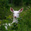 The Wild One -  Wild Albino whitetail deer of Boulder Junction Wisconsin