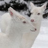 """ A Pair of Queens ""  Wild albino whitetail deer of Boulder Junction Wisconsin"