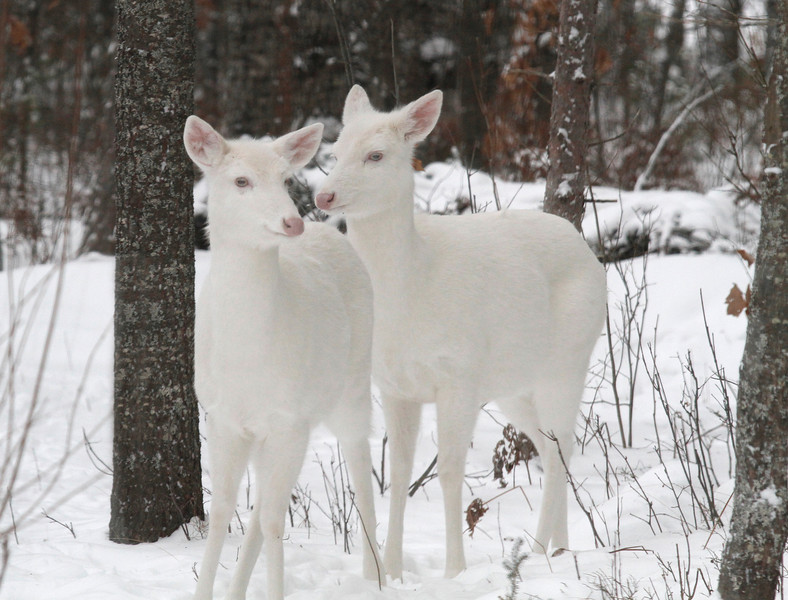 """ Winter Visitors"" 2  Albino Whitetail deer of Boulder Junction Wisconsin"