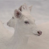 """  Me and My Ghost ""  Wild Albino whitetail deer of Boulder Junction Wisconsin"
