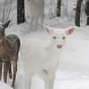 """ Ma I'm Getting Sick of Winter ""  Wild Albino Whitetail Deer of Boulder Junction Wisconsin"