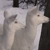 """  Do You See What I See  "" Wild albino whitetail deer of Boulder Junction Wisconsin"