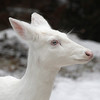 """ Albino Whitetail Deer Portrait  ""  Wild albino whitetail deer of Boulder Junction Wisconsin"
