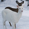 Dark Shadows  -  Albino whitetail deer of Boulder Junction Wisconsin
