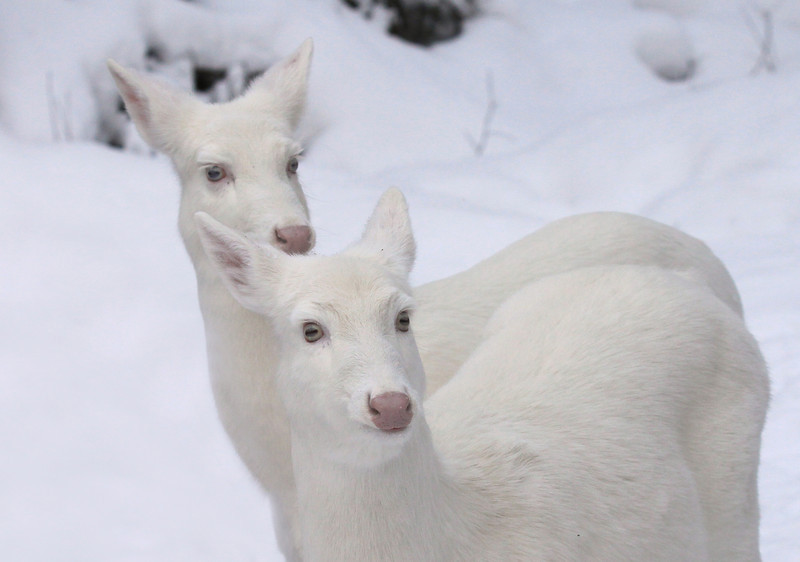 """ It's Just the Two of Us  ""  Wild Albino whitetail deer of Boulder Junction Wisconsin"