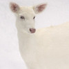 """  White on White ""  Wild albino whitetail deer of Boulder Junction Wisconsin"