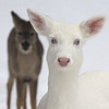 """ Angel Eyes ""  Wild albino whitetail deer of Boulder Junction Wisconsin"