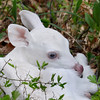 Albino Fawn Sitting Pretty