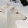 """  Me and My Ghost "" 2 Wild Albino whitetail deer of Boulder Junction Wisconsin"