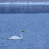 Whooper swan and falling snow