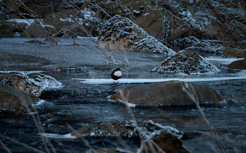 Koskikara, (Cinclus cinclus) - White-throated Dipper