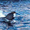 The White-throated Dipper