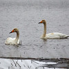 Whooper Swans Engaged couple