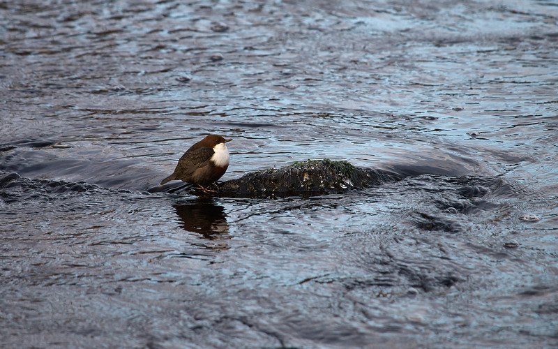 Koskikara (Cinclus cinclus) - The White-throated Dipper