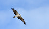 Osprey Pandion haliaetus over Florida beach