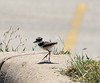 On a hot summer day, a Killdeer (Charadrius vociferus) and its chick had sought shade under a crepe myrtle bush near our office entrance.  However, when I came out they abandoned the shade and made off toward the parking lot. This chick is taking the high road on a curb.