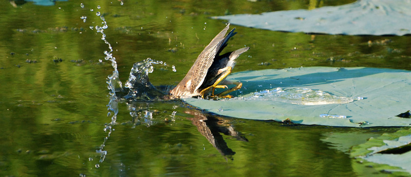 Strike: A juvenile Green Heron (Butorides virescens) lunges from its lily pad at a small fish.  It is remarkably quick, after having stood immobile for so long.
