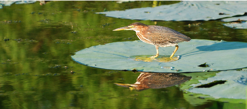 Stance: A juvenile Green Heron (Butorides virescens) takes it stance on a lily pad, watching for minnows, tadpoles and other amphibians.  It remains absolutely immobile, apparently in total concentration on discovering its next meal, even as I get into position for this photo.