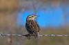 Meadowlark. Blue background is part of a pond.