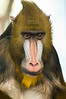 A Mandrill in Milwaukee County Zoo