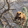 cinnamon bear in tree