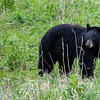 Black Bear, Yellowstone National Park, Wyoming