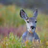 Mule Deer, Yellowstone National Park, Wyoming