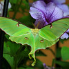 """ The Beautiful Luna Moth """