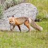 Fox, Yellowstone National Park, Wyoming