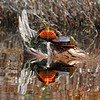 Western Painted Turtles