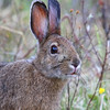 Snowshoe Hare  3