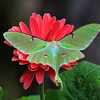 """ Flowering Luna Moth """