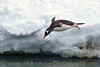 """Jumping Gentoo.""  Gentoo Penguin jumping into Antarctic waters near Peterman Island."