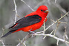 Male Scarlet Tanager, Goose Island State Park, 04/26/2013.