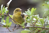 Female Scarlet Tanager, Goose Island State Park, 04/26/2013.