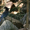 Ramsey Canyon stellers jay