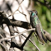 2013- AZ- magnificant hummingbird- DPP-Cave Creek- Sept