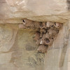 2013- NM- swallow nests- near Ghost Ranch- Sept