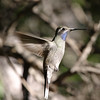 2013- AZ- blue-throated hummingbird4- DPP-Cave Creek- Sept