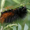 2013-AZ- wooly catepillar- Chiricahua Natl Mt- Sept