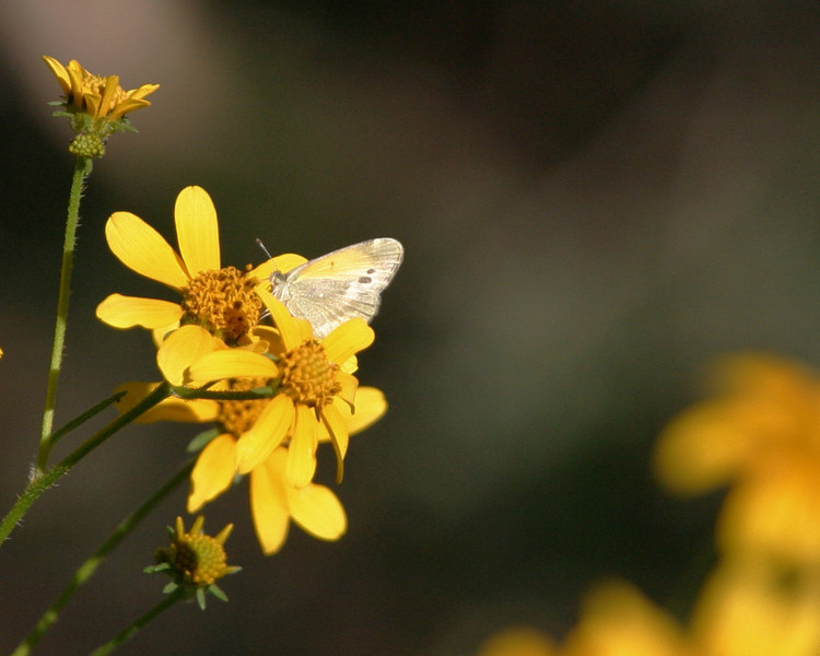 2013-AZ- dainty sulphur- Cave Creek- Sept