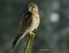 common kestrel 2455
