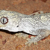 Northern spiny tailed gecko (Strophurus ciliaris)