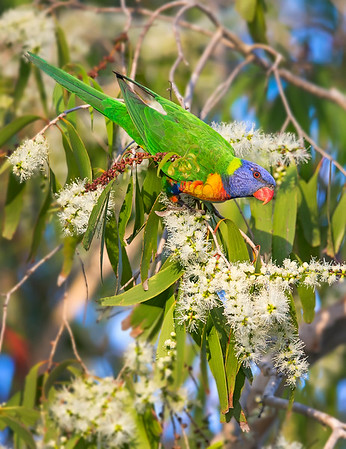 "This photograph of a Rainbow Lorikeet was captured within Magnetic Island, Australia (7/14). <FONT COLOR=""RED""><h5>This photograph is protected by the U.S. Copyright Laws and shall not to be downloaded or reproduced by any means without the formal written permission of Ken Conger Photography.<FONT COLOR=""RED""></h5>"