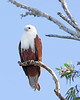 "This photograph of a Brahiminy Kite was captured within Magnetic Island, Australia (7/14). <FONT COLOR=""RED""><h5>This photograph is protected by the U.S. Copyright Laws and shall not to be downloaded or reproduced by any means without the formal written permission of Ken Conger Photography.<FONT COLOR=""RED""></h5>"