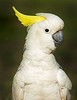 "This photograph of a Sulfur-crested Cockatoo was captured within Magnetic Island, Australia (7/14). <FONT COLOR=""RED""><h5>This photograph is protected by the U.S. Copyright Laws and shall not to be downloaded or reproduced by any means without the formal written permission of Ken Conger Photography.<FONT COLOR=""RED""></h5>"